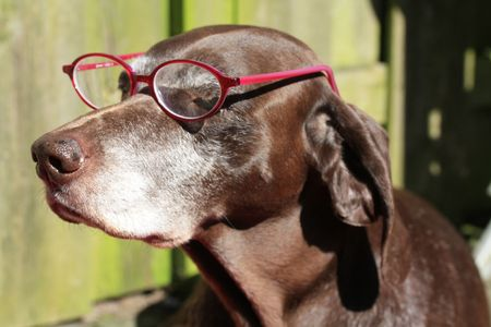 A german shorthaired pointer wearing a pink pair of glasses photo
