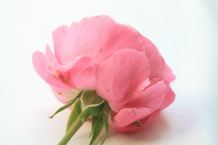 to other side: A pink rose as seen from the other side