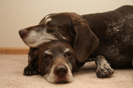 Two senior female german shorthaired pointers, using eachother as pillow photo