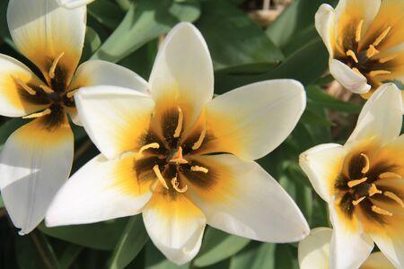 Weißen und gelben Tulpen wachsen auf ein Feld - floralen Industrie Standard-Bild - 9306222