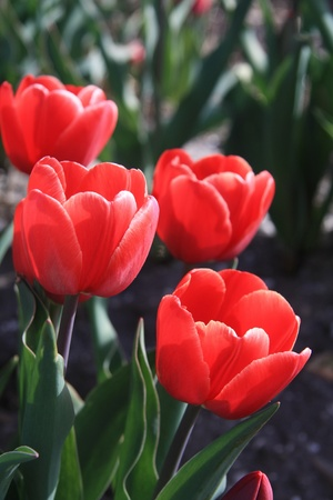 Red tulips in the early spring sun, growing on a field - floral industry