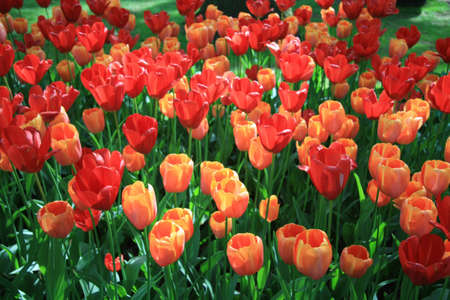 tulips in green grass: A group of orange and red tulips in a field Stock Photo