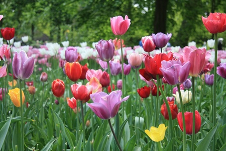 tulips in green grass: Various colors of mixed tulips in a field Stock Photo