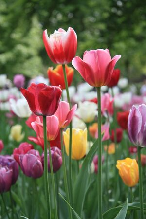 Various colors of mixed tulips in a field Stockfoto