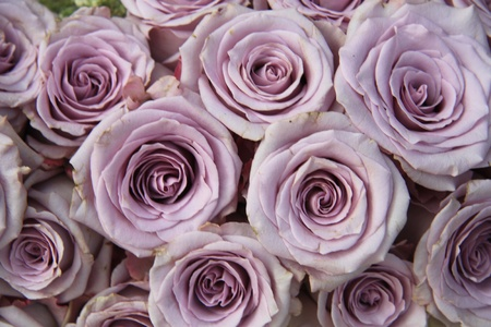 arrangement: Group of big soft  lilac roses in sunlight, close up