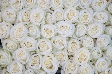 roses background: Big group of white roses with waterdrops after a rainshower Stock Photo