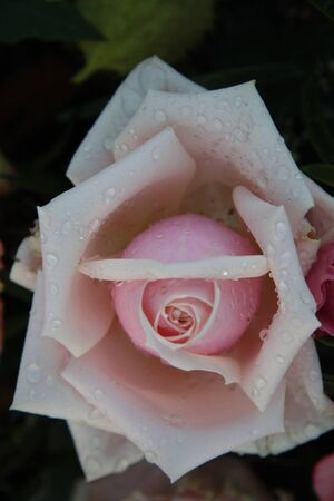 Close up of a pale pink rose with waterdrops Stock Photo - 12072855