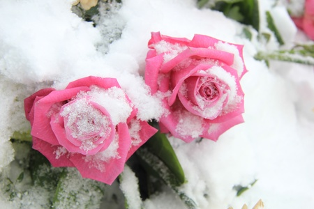 Two fuchsia pink roses in the snow, winter scene photo
