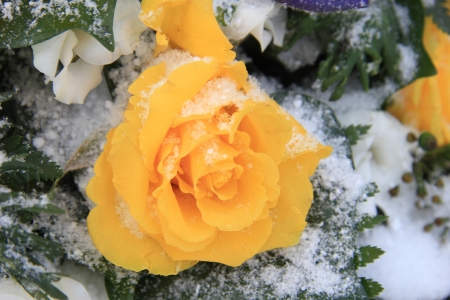 A bright yellow rose in the snow photo
