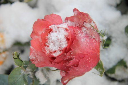 A soft pink rose bud covered with snow photo