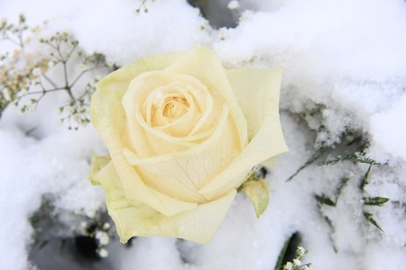 A solitaire white rose in the snow photo