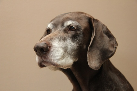 Portrait of a female german shorthaired pointer, age 11 photo