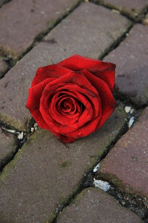 A big single red rose on the pavement   photo