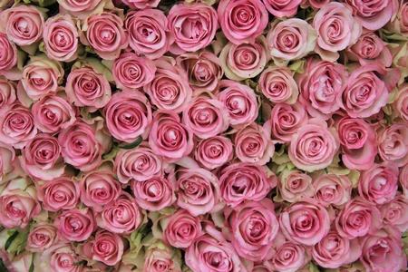 Eine große Gruppe von rosa Rosen, perfekt als Hintergrund