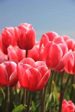 Pink tulips on a field and a clear blue sky, sunlight makes them look a bit transparent photo