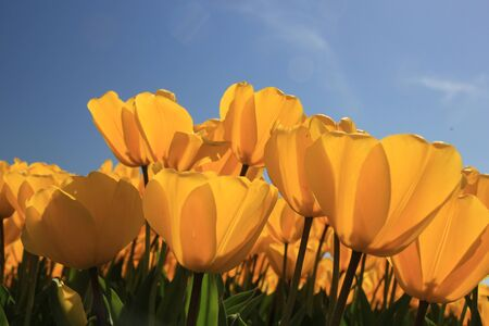 Field full of yellow tulips and a clear blue sky Stock Photo - 13461729