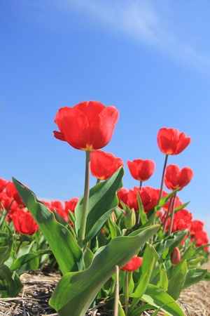 Red tulips on a field against a clear blue sky Stock Photo - 13461841