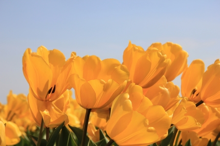 Field full of yellow tulips and a clear blue sky Stock Photo - 13461677
