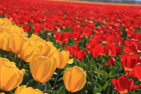yellow and red tulips on a field, flower bulb industry in Holland Stock Photo - 13461833