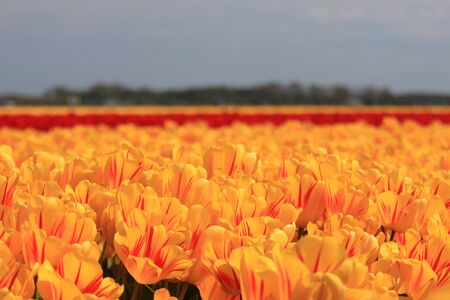 yellow tulips with a touch of red on a field Stock Photo - 13461787