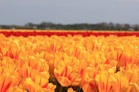 yellow tulips with a touch of red on a field Stock Photo - 13461722