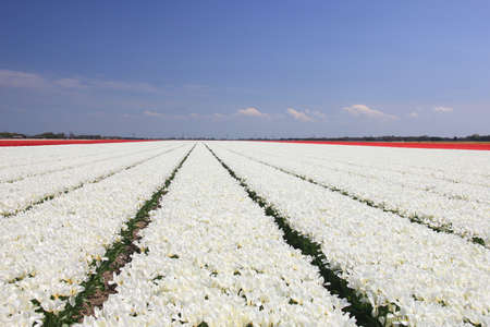 White tulips on a field, flower bulb industry photo