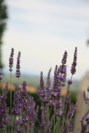 dry provisions: Lavender plant, growing in the Provence, France