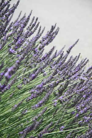 Lavender plant, growing in the Provence, France Stock Photo - 13697323