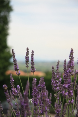 Lavender plant, growing in the Provence, France photo