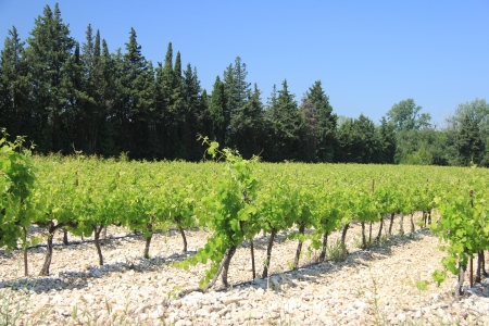 Vineyard in the Provence, France in early summer Stock Photo - 14219564