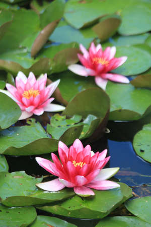 Floating pink water lillies on a pond Stock Photo - 14434288