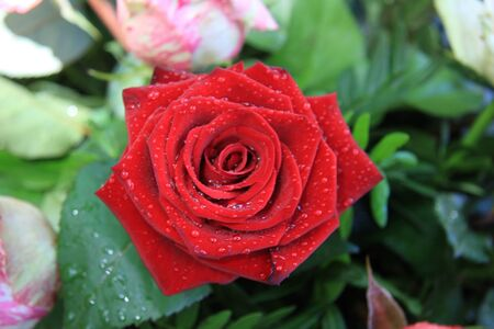 solitair: Sparkling water drops on a solitaire red rose after a shower Stock Photo