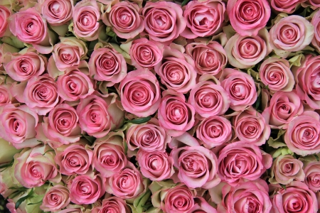 Big group of pink roses, perfect as a background Reklamní fotografie - 14735306