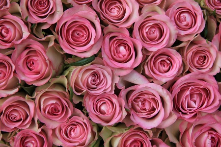 Big group of pink roses, perfect as a background