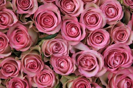 Nagy csoport rózsaszín rózsa, tökéletes, mint a háttér