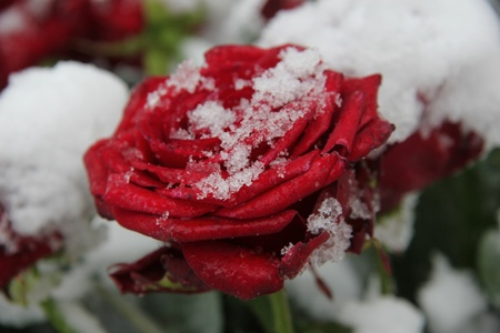 Red rose, covered with fresh snowflakes photo