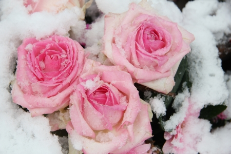 Big pink roses, covered with fresh snow photo