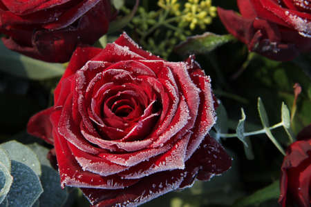 Single red rose, covered with ice crystals photo
