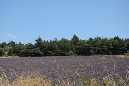 dry provisions: Purple fields with lavender near Sault in the Provence, France