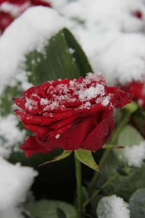 Red rose, covered with fresh snowflakes Stock Photo - 17092203