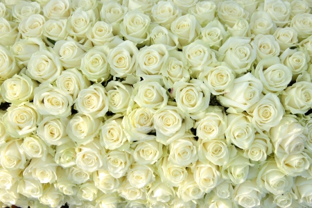 Big group of white roses, part of wedding decorations Standard-Bild