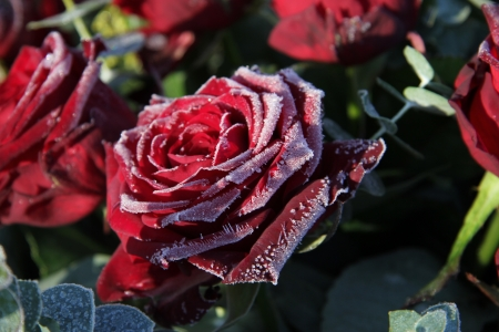 Frosted red roses in the winter sun photo