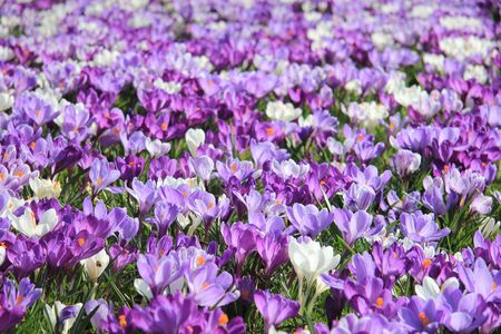 Crocuses in various shades of purple and white in a field photo