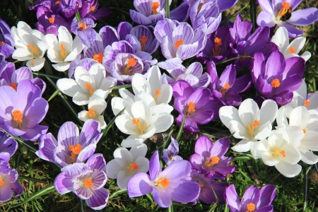 crocuses: Crocuses in various shades of purple and white in a field