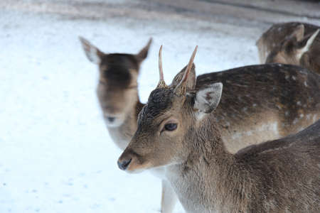A young female deer in a snowy landscape photo