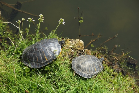 Two turtles in the sun near a pond photo