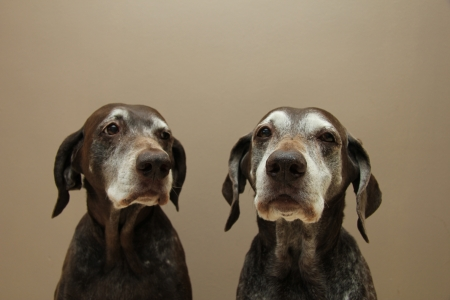 shorthaired: Two senior german shorthaired pointer sisters, almost 13 years Stock Photo