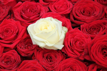 Big white rose in a group of red roses photo