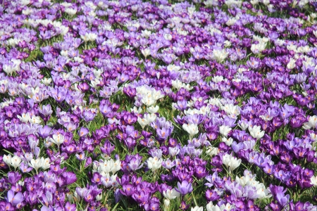 Big group of white and purple crocuses in early spring sunlight photo