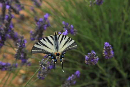 Butterfly - Papilio machaon - on flowering lavender in the Provence photo